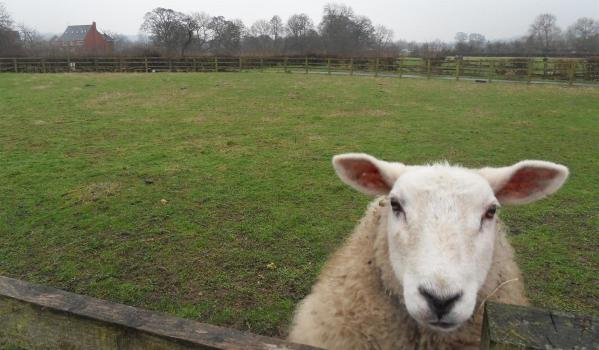 Close-up of a sheep in a large paddock