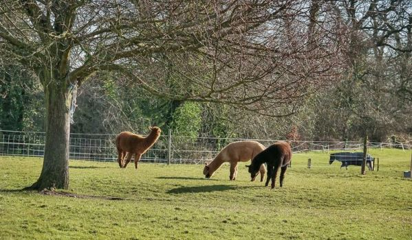 Alpacas grazing on a farm