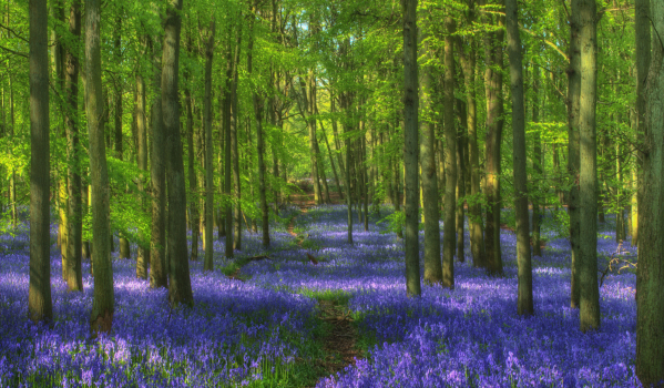 Bluebell in Hertfordshire woods