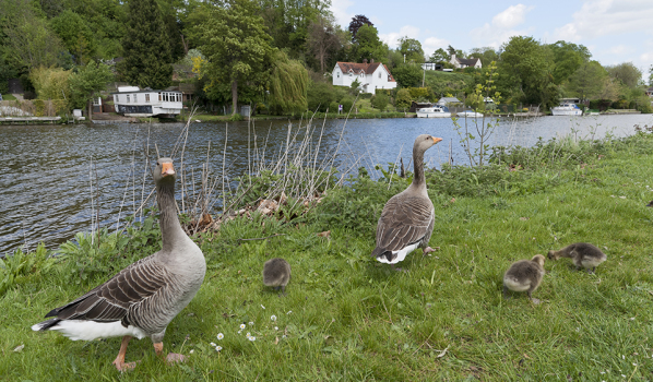 Geese by the River Thames in Reading, Riverside property