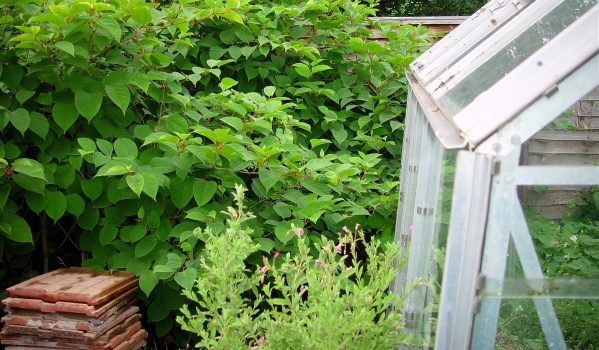 Japanese Knotweed in a garden