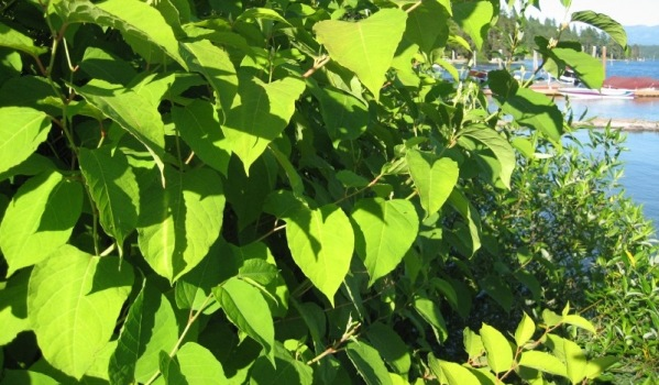 Japanese Knotweed in the sun
