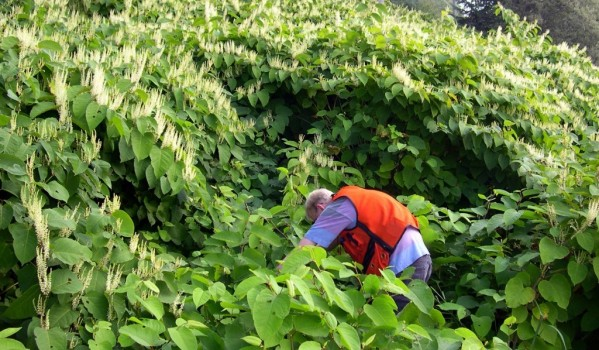 Man eradicating Japanese Knotweed