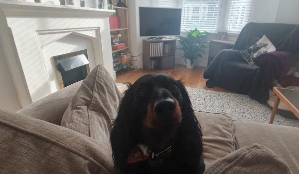 Otis the miniature dachshund at home
