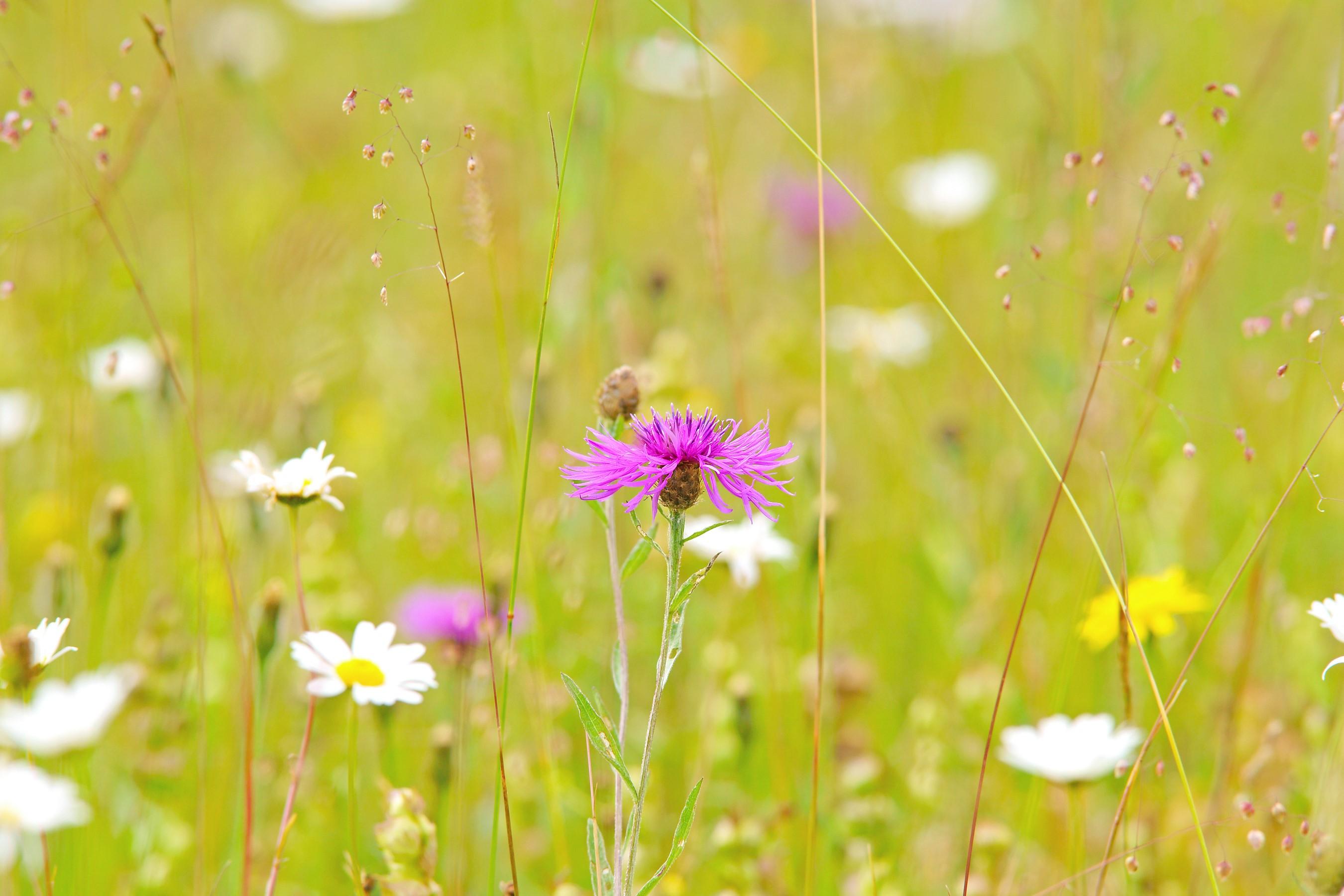 wild flower meadow nature